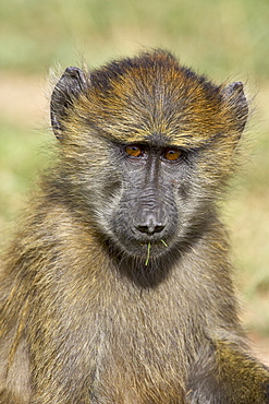 Young olive baboon (Papio cynocephalus anubis), Serengeti National Park, Tanzania, East Africa, Africa
