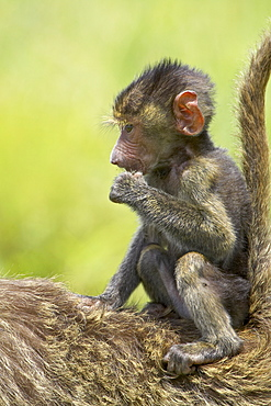 Olive baboon (Papio cynocephalus anubis) infant riding on its mother's back, Serengeti National Park, Tanzania, East Africa, Africa