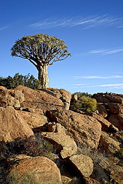 Quiver tree (kokerboom) (Aloe dichotoma), Springbok, South Africa, Africa