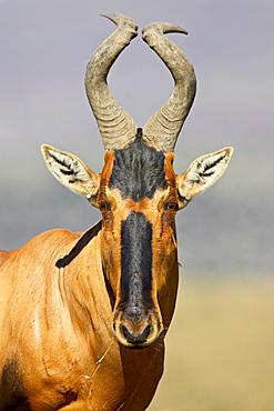 Red hartebeest (Alcelaphus buselaphus), Mountain Zebra National Park, South Africa, Africa