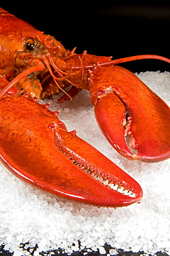 Lobster (Homarus americanus) in a salt bed