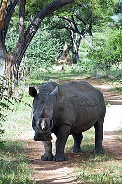 White rhinoceros (Ceratotherium simum), Namibia, Africa