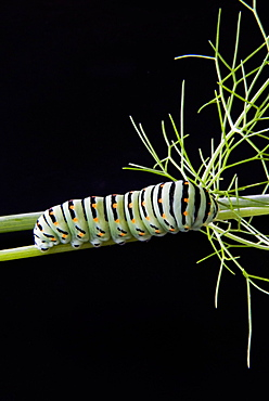 Papilio machaon larva, butterfly of the family Papilionidae, Italy, Europe