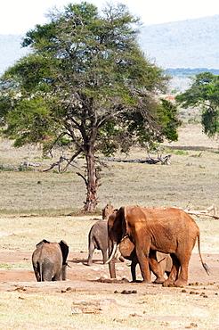 Elephants (Loxodonta africana), Taita Hills Wildlife Sanctuary, Kenya, East Africa, Africa