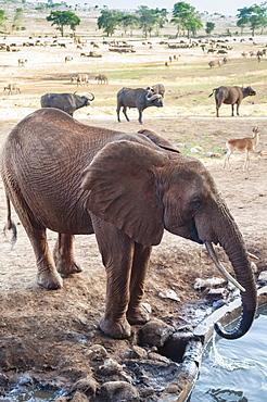Elephant (Loxodonta africana) drinking, Taita Hills Wildlife Sanctuary, Kenya, East Africa, Africa