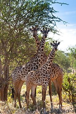 Maasai giraffes (Giraffa tippelskirchi), Tsavo East National Park, Kenya, East Africa, Africa