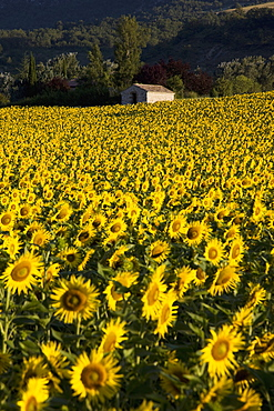 Field of sunflowers, Provence, France, Europe