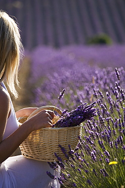 Woman in a lavender field, Provence, France, Europe