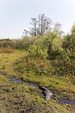 Alligator, Everglades National Park, UNESCO World Heritage Site, Florida, United States of America, North America