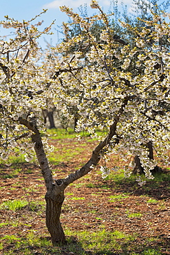 Almond orchard in blossom, Puglia, Italy, Europe