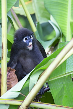 A young dusky leaf monkey (spectacled langur) (dusky langur) in Langkawi rainforest, Malaysia, Southeast Asia, Asia