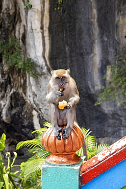 Macaque monkey on the steps to the Batu Caves with fruit given by passing visitors, Malaysia, Southeast Asia, Asia