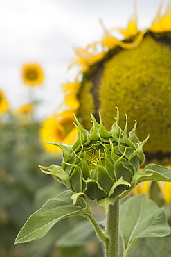 Sunflower about to flower, Tuscany, Italy