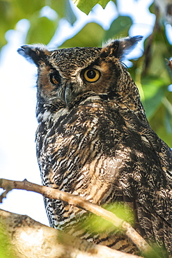 American Great Horned owl (Bubo virginianus), Alaska, United States of America, North America