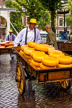 Transporting Gouda cheese wheels on cheese cart from Alkmaar cheese market to shops, Alkmaar, North Holland, Netherlands, Europe
