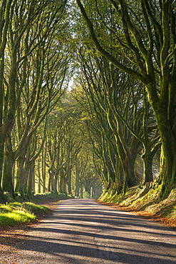 Tree lined lane on the edge of Dartmoor, Bridestowe, Devon, England, United Kingdom, Europe