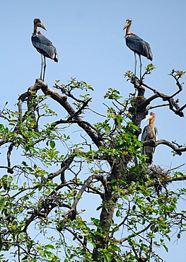 A group of rare Greater Adjutant storks, now an endangered species, perched high up in a tree, Hajo district, Assam, India, Asia
