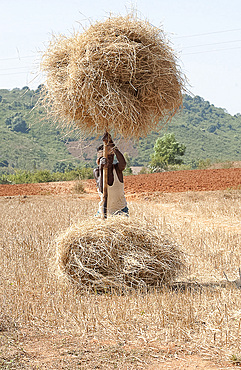 Man loading rice straw onto wooden pole in order to carry it from the field, rural Orissa, India, Asia