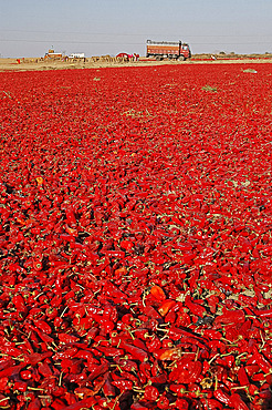 Red chillies laid out to dry in the sun and lorries waiting to be loaded, Tonk district, Eastern Rajasthan, India, Asia