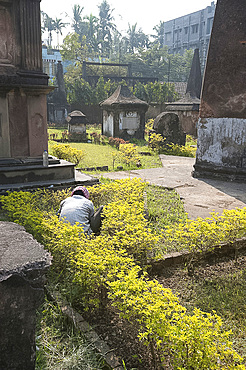 Gardener trimming low hedge in the 250 year old Dutch cemetery at Chinsurah, run by the Archaeological Survey of India, near Hugli, West Bengal, India, Asia