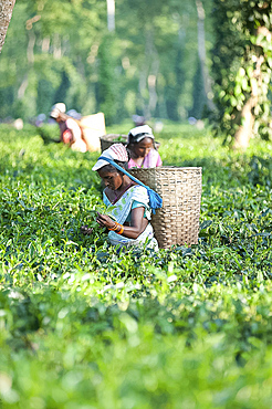 Female tea pickers with basket on headband working in tea plantation, Jorhat district, Assam, India, Asia
