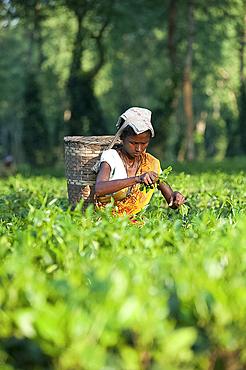 Female tea picker with basket on headband, working in tea plantation, Jorhat district, Assam, India, Asia
