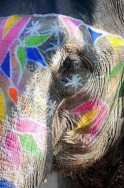 Decorated elephant, Amber elephant sanctuary, near Jaipur, Rajasthan, India, Asia