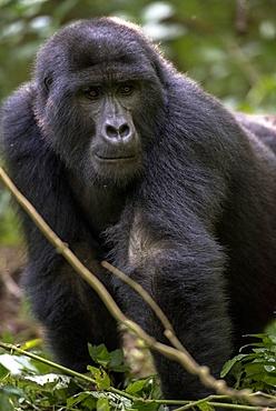 Mountain gorilla, (Gorilla beringei beringei), Bwindi Impenetrable National Park, Uganda, Africa