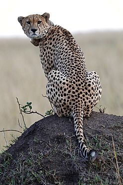 Cheetah female (Acinonyx jubatus) with radio collar, Masai Mara Game Reserve, Kenya, East Africa, Africa