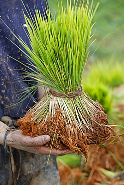 Close-up of farmer with rice seedling in hands, Madagascar, Africa