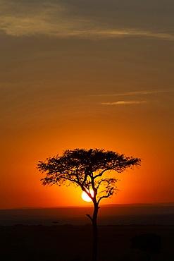 African tree at sunset (Connochaetes taurinus), Masai Mara National Reserve. Kenya.