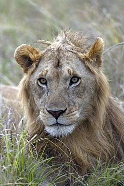 Young male lion (Panthera leo) in savanna. Masai Mara National Park. Kenya.