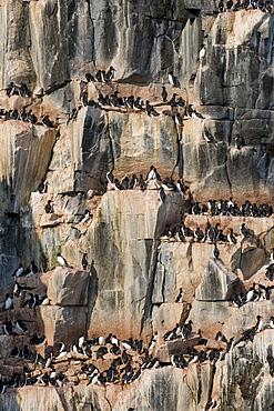 Black-legged kittiwakes (Rissa tridactyla) colony on the cliffs of Alkerfjellet, Svalbard, Arctic