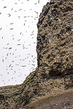 Black-legged Kittiwakes (Rissa tridactyla) flying and nesting, Diskobukta, Edgeoya Island, Svalbard Archipelago, Norway, Arctic