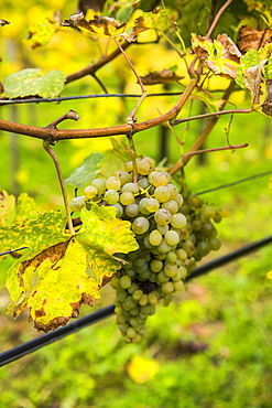 Grapes in a vineyard in Duernstein, Danube, Wachau Cultural Landscape, UNESCO World Heritage Site, Austria, Europe