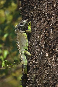 A male green iguana on a spiny pochote tree, Nosara, Nicoya Peninsula, Guanacaste Province, Costa Rica, Central America