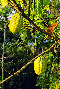 Green pods whose seeds are used to make chocolate, on a cocoa tree (Theobroma cacao), Muthuvankudi, Munnar, Kerala, India, Asia