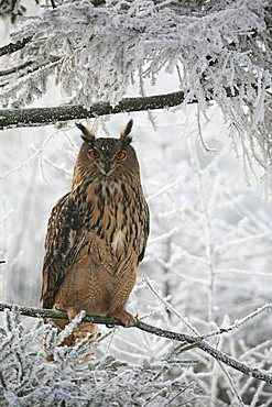 Eurasian Eagle Owl (Bubo bubo) in wintry frost-covered forest