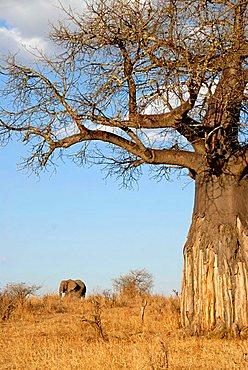 Baobab tree (Adansonia digitata) and African Elephant (Loxodonta africana) in the savannah Tarangire National Park Tanzania