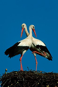 White Storks, pair, Germany / (Ciconia ciconia)