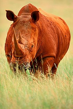 Wide-mouthed Rhinoceros, Gauteng Province, South_Africa / (Ceratotherium simum)