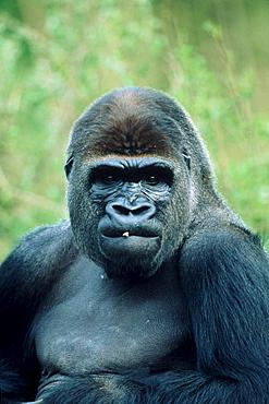 Western Gorilla, silverback (Gorilla gorilla gorilla)