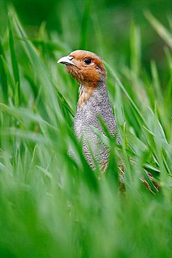 Grey Partridge (Perdix perdix), rooster looking out of a meadow