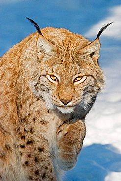 European lynx in snow (Lynx lynx)  Bavaria, Germany