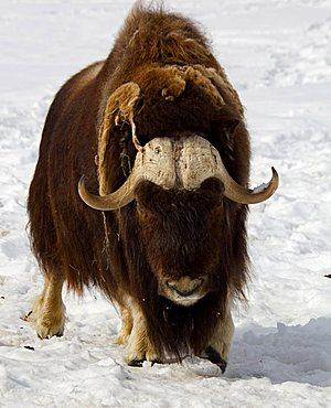 Muskox, muskoxen (Ovibos moschatus), male, bull, Yukon Territory, Canada