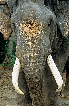 detail of the face of a elephant