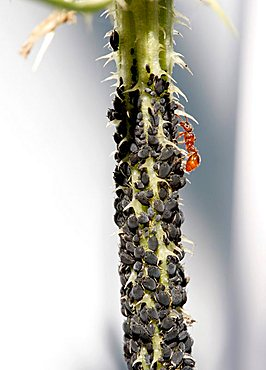 Plant lice and an ant on a thistle stalk