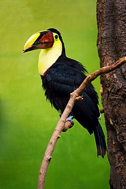 Red Billed Toucan, (Ramphastos swainsoni), Zoo of Basel, Switzerland