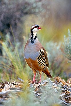 Chukar (Alectoris chukar), Kodachrome Valley State Park, Utah, USA, North America