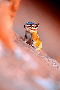 Chipmunk (Tamias), Arches National Park, Utah, USA